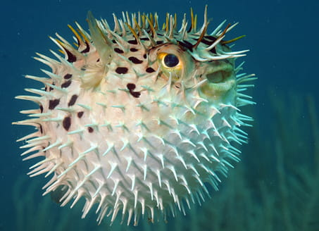 Self defence - a puffer fish