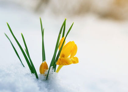 Daffodil in snow